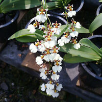 Rare orchid hybrid Near Bloom - Oncidium white cloud