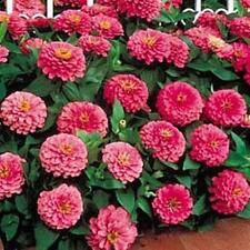 Zinnia Benary Giant Bright Pink Annual Seed