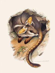 John Gould Native wallaby Birds print tree owl painting Vintage Old Australia