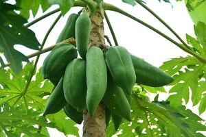 die tolle Papaya-Pflanze liefert Ihnen leckere Melonen frei Haus !