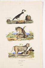 Gravure XIX° Histoire Naturelle Singes Macaques Bonnet chinois/Rhésus, Macareux