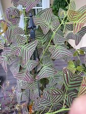 Christia Obcordata or Butterfly Wing Plant - FRESH REAL Seeds