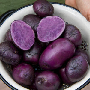 Certified PURPLE MAJESTY Seed Potatoes Spring 2021-FREE SHIPPING