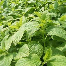 50Pc Stevia Sweetleaf Diabetic Natural Sugar Substitute Plant Seeds Bulbs Green