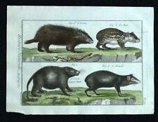 PORCUPINE,THE CUNICULUS PACA RODENT original engraving de Buffon watercolour