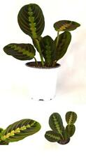 "Red Prayer Plant Maranta Easy to Grow House - 4"" Pot Indoor Houseplant Best Gift"