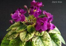 Dark Kiss Blatt/ leaf African Violet Usambaraveilchen