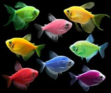 GloFish Tetra Complete Live Aquarium Fish Collection