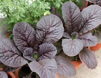 Mustard Red Giant Japanese / Asian Non GMO Heirloom Vegetable Seeds Sow No GMO®
