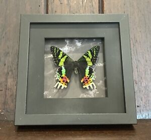 Framed Moth,  Sunset Moth , insect taxidermy
