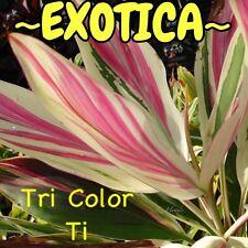 "~EXOTICA~ Live Hawaiian Ti Log ""Tri Color Ti"" COLORFUL RARE Cordyline Cutting"