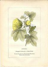 Stampa antica PIANTE DELLA BIBBIA COTONE Gossypium 1842 Old antique print