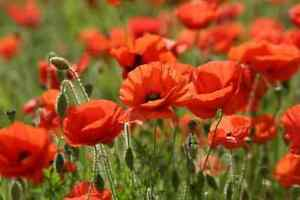 Common Cornfield Poppy (Papaver rhoeas) - 5gms - approx 35000 seeds -