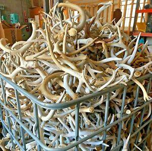 Bulk Large Deer Antlers | #2 Grade | Home Decor - Dog Chews- Crafts - Weddings