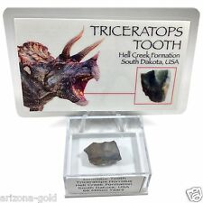 Triceratops Tooth Fossil 68 Million Year Old Dinosaur Fossil with ID Card