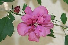 (3) Stems Light Purple Double Rose-of-Sharon Branches/Cuttings, Bush/Shrub/Tree