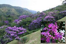 Tibouchina Granulosa - Purple Glory Tree - Rare Tropical Tree Bonsai Seeds (25)