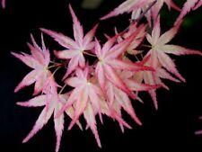 New listing Rare Japanese maple cultivar 4yr 'Beni Tsukasa'