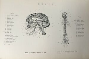 ANTIQUE PRINT C1870'S BRAIN & CEREBRAL NERVES OF MAN AND SPINAL CORD ENGRAVING