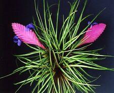 TILLANDSIA CYANEA - Quality Large Plants - Gorgeous Blue and pink!