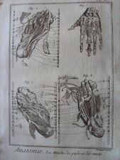 GRAVURE 1778 ANATOMIE LES MUSCLES DES PIEDS ET DES MAINS