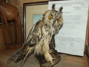 OWL BIRD TAXIDERMY with certificate