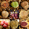 50 Lithops Seeds Living Stones Succulent Cactus Bulk Seed Pot Decor LJ