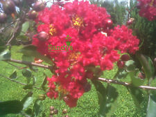 Crape Myrtle- Red Rocket 4 inch pot