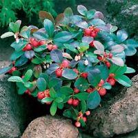 50 Wintergreen Seeds (Gaultheria Procumbens) Perennial Seeds
