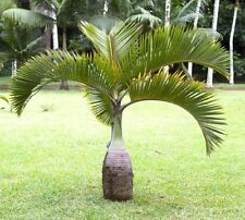 20 psc seeds BOTTLE PALM TREE - Fresh Hyophorbe lagenicaulis Seeds Home Garden