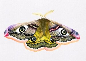 A5 Emperor Hawk Moth Watercolour Painting Signed Limited Edition Print