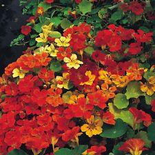 Nasturtium Gleam Hybrids mixed - Tropaeolum - 180 seeds - HH Annual