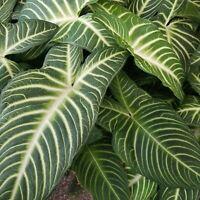 Xanthosoma Lindenii Magnificum Variegated leaf  Rare Caladium rare and limited