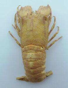 Slipper Lobster Galearctus timidus Taxidermy Oddities Curios