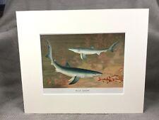 Antique Victorian Print Ca. 1894 Blue Shark Sharks Fish Marine Art Sea Life