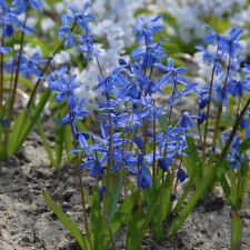 SCILLA - BLUE PERENNIAL FLOWER - 5 BULBS!! GroCo live plants USA