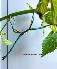 "RARE Achrioptera manga ""Orangea"" eggs x30 - blue metal stick insect - phasmids"
