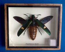 REAL BIG JEWEL BEETLE MAGALOXANSTA BICOLOR INSECT TAXIDERMY FRAMED ENTOMOLOGY