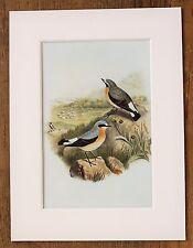 John Gould - 1970s Vintage Mounted Colour Bird Print - Wheatear (96)