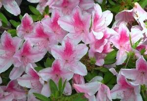 Azalea Rhododendron George Taber Pint Plant