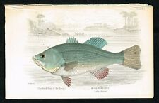 1852 Black Bass Fish of Lake Huron Antique Hand-Colored Engraving Print