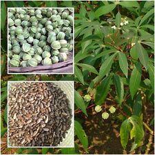 Manihot esculenta 50 Seeds Cassava (Varieties Rayong 5) Manioc Seeds From Thai