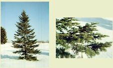 New listing Balsam Fir 200 seeds. trees, seeds