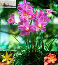 5 Bulbs Color Mixing Zephyranthes Candida Bulbs,(Not Zephyranthes Candida Seed)