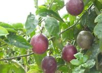 Fruit Seeds 40x Tropical Exotic Passion Purple Passiflora Edulis Germination±95%