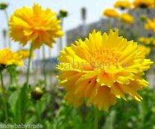 1000 Coreopsis Grandiflora Seeds Sunrise Tickseed Yellow Flower Perennial Fresh