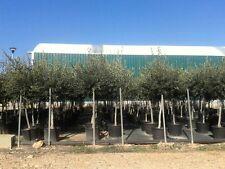 Olivenbaum 170 cm Olea europeae frosthart -15°C Olive  Stamm 10cm Umfang