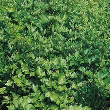 Parsley Extra Triple Curled x500 seeds Vegetable Seed