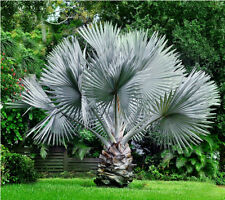 Bismarckia nobilis Silver palm BISMARK fresh High Quality Thailand 50 seeds