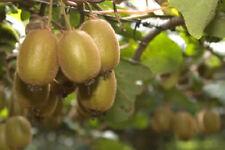 100 semillas de Kiwi